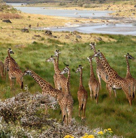 Arusha Kilimanjaro Giraffes Ngorongoro Crater.