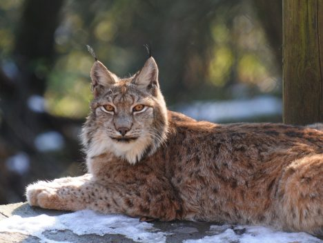 Tourism in Albania: endangered Lynx