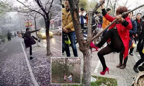 Chinese tourists climbing and kicking the cherry blossom trees in Japan.